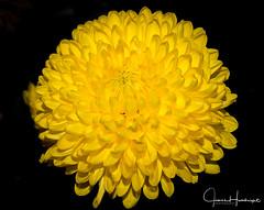 Burst of Yellow (jhambright52) Tags: macroflowers yellowmacroflower