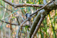 Long-Tailted Tit  |  Schwanzmeise (Natural Photography by CJH) Tags: longtailtedtit long tailed tail black white bw tree perch tit schwanzmeise bird vogel natural wildlife nature wild nikon d750 telephoto 300mm pf f4 300mmf4 300f4 nikkor teleconverter tc17eii pfedvr