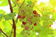grapes (dr.larsbergmann) Tags: green weintrauben nature outdoor eos canon summer