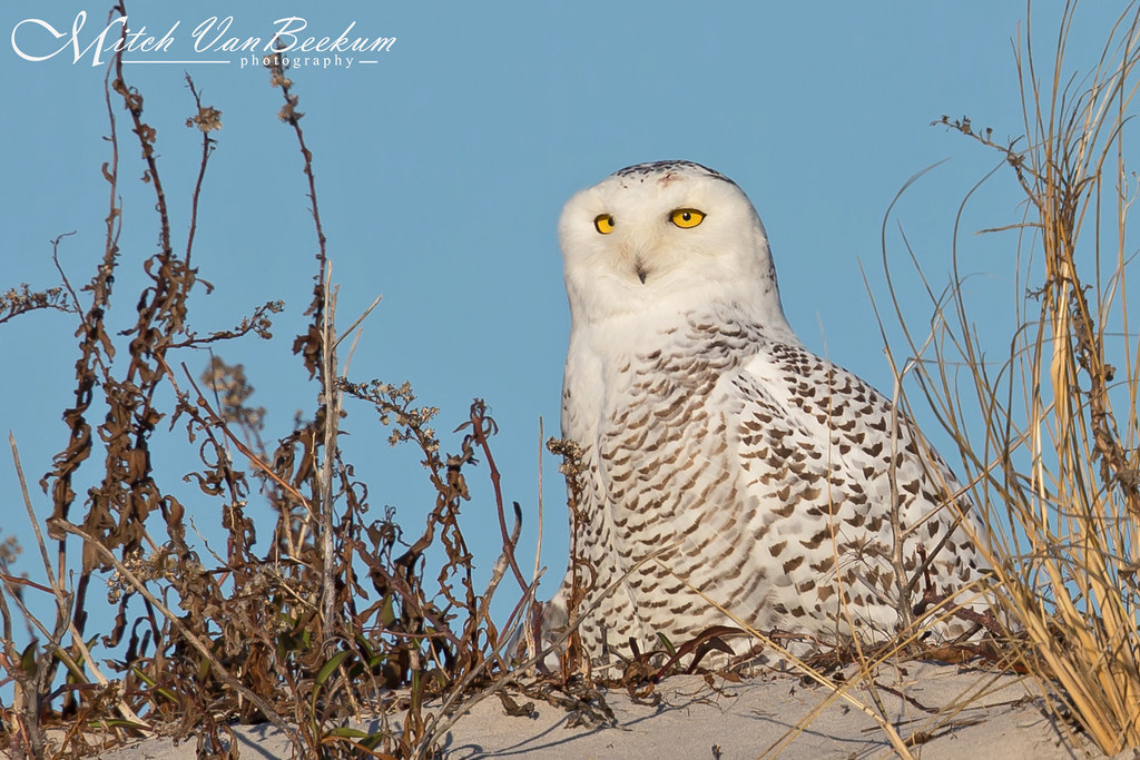 And first bird of the year goes to... Snowy Owl (Female)