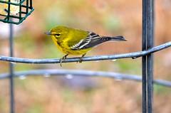 Pine Warbler (deanrr) Tags: bird water rain yellow drops bokeh alabama feathers feeder backyardbird suet pinewarbler 2015 morgancountyalabama nikond5100