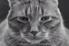    Black & White   Ambered    2015  (Joanna Iaizzo Photography) Tags: blackandwhite ginger orangetabby pictureperfect digitalphotography grumpycat portraitphotography throughmyeyes sonyalpha sonya3000 acatwithapersonality joannaiaizzophotography kingofsarcasm catwithabelly
