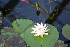 (ddsnet) Tags: travel plant flower japan waterlily sony cybershot  nippon   aquaticplants nihon  backpackers         rx10  hygoken    nymphaeatetragona     flowerinjapan