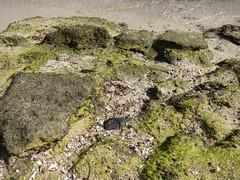 Bassa marea (30) (Naturalmentescienza) Tags: rosa acacia aquila granchio salicornia airone spinosa beccaccia cormorano spatola mangrovia tamerice