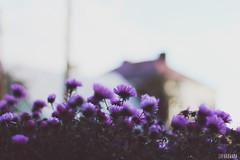 Summer memories (Zaparowana) Tags: flowers nature colors canon eos 50mm countryside blog dof bokeh bialowieza blogged 18 650d t4i 18mp