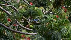 Azulejo Haciendo Su Nido 2 (graphRocker) Tags: tree bird home nature bluebird nido pájaro
