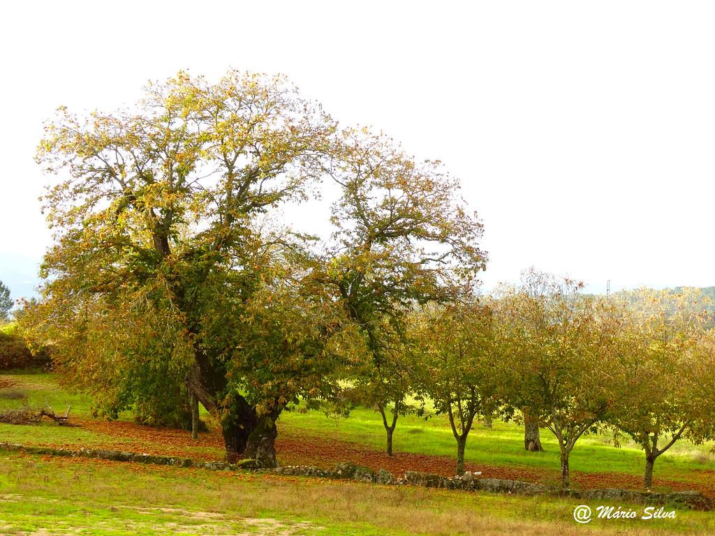 Águas Frias (Chaves) - ... castanheiro e outras árvores ...