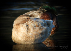 Peek a boo (cbjphoto) Tags: female photography duck wildlife domestic mallard sanctuary avian sanjoaquin carljackson