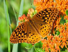 Great Spangled Fritillary (Speyeria cybele) (monon738) Tags: macro nature closeup butterfly bug insect wings pentax wildlife butterflies indiana lepidoptera 300mm milkweed k5 fritillary nymphalidae greatspangledfritillary speyeriacybele speyeria fritillarybutterfly butterflymilkweed lagrangecounty smcpda300mmf40edifsdm pigeonriverfishandwildlifearea