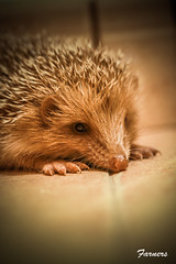 Eric (farnerspuente) Tags: macro animals canon 100mm 7d hedgehog usm erizo protect protegido f28l eri protegits