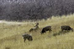 Buck Herd West-9257 (Tony.Lazz) Tags: park colorado unitedstates state snowstorm deer buck mule littleton roxborough