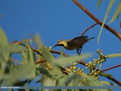 Purple Sunbird (Cinnyris asiaticus) (gilgit2) Tags: pakistan birds animal fauna canon geotagged wings wildlife feathers sigma location species category sindh mithi avifauna cinnyrisasiaticus sigma150500mmf563apodgoshsm imranshah purplesunbirdcinnyrisasiaticus gilgit2