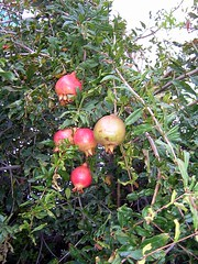 Oman - Granatäpfel (ohaoha) Tags: asia asien middleeast arabia oriental orient oman arabien omani sultanate granatäpfel morgenland misfat sultanat mittlererosten