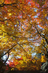 The sky of colored leaves (Toshimo1123) Tags: autumn japan shrine    nara  tanzan