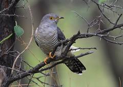 African cuckoo (Cuculus gularis) (Ian N. White) Tags: botswana serowe khamarhinosanctuary africancuckoo cuculusgularis