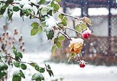 First Snow (Tanjica Perovic) Tags: roses snow snowing garden snowflakes winter winterwonderland white greenleaves flowersinsnow tanjicaperovicphotography canonef50mmf14 canoneos60d serbia srbija pirotserbia pirotsrbija throughherlens