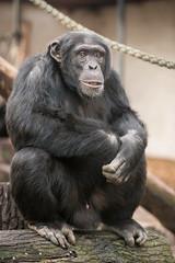 2014-12-13-10h41m57.BL7R8635 (A.J. Haverkamp) Tags: amsterdam zoo thenetherlands chimpanzee artis dierentuin chimpansee wakili canonef70200mmf28lisusmlens httpwwwartisnl pobamsterdamthenetherlands dob16102003