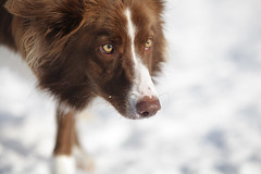 Ready... (SergeK ) Tags: winter dog chien brown white snow eye look animal canon outside eyes focus december bc hiver ready neige bordercollie blanc brun pret 200mm exterieur sergek