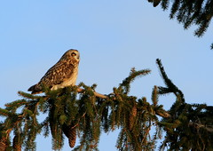 Short-Eared Owl (Asia flammeus) SEOW (burlingamelarry) Tags: tree pinetree owl yelloweyes seow shortearedowl shorteared springboro beavercenter asiaflammeus