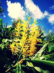 gingerlily (brunolabs) Tags: flowers wild summer flower nature azores invasive hedychium gingerlily gardnerianum