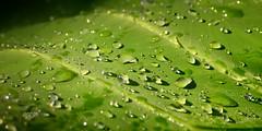 Dew Drops (Renjith Unni) Tags: morning light sun green dawn leaf drops nikon kerala newyear dew rays 2015 d7000