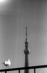 (hoodlum) (Dinasty_Oomae) Tags: tokyo seagull  asakusa agfa  taitoku foldingcamera     skytree agfakarat    tokyoskytree