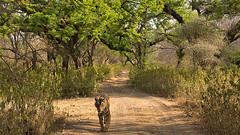 ADS_0000103868 (dickysingh) Tags: wildlife tiger tigers ranthambore indianwildlife ranthambhorenationalpark