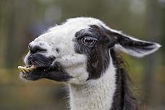 Funny black and white llama (Tambako the Jaguar) Tags: portrait white black strange face germany zoo nikon funny jaw teeth profile llama d4 camelid eschede filmtierpark