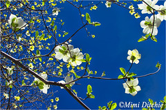 Dogwoods (Mimi Ditchie) Tags: flowers bluesky yosemite getty yosemitenationalpark dogwood gettyimages dogwoods dogwoodflowers mimiditchie mimiditchiephotography yosemite2016