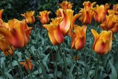 IMG_3027 (seustace2003) Tags: holland nederland an tulip bas pays tulipa niederlande keukenhof tulp tulipan paesi bassi tiilip sitr
