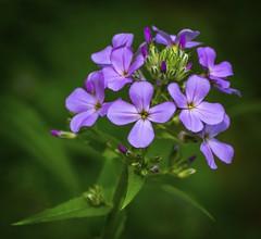 Wildflowers...... (Kevin Povenz) Tags: 2016 may kevinpovenz westmichigan michigan ottawa ottawacounty ottawacountyparks grandravinesnorth canon7dmarkii sigma70mmmacro wildflower nature purple green pretty