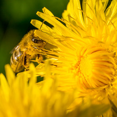 2016-05-02-001-MaMa - Augsburg - WibaPa - 0374 - C00003s - W1920 (mair_matthias_1969) Tags: plant flower macro animal insect de bayern deutschland lumix blossom outdoor pflanze panasonic bee nophotoshop blume makro blte insekt tier augsburg biene g7 g70 mft extensionrings zwischenringe nodirtytricks microfourthirds dmcg7 lumixg7 lumixg70 dmcg70 gvario14140f3556 ohneschmutzigetricks keineschmutzigentricks