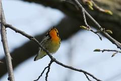 Blackburnian's cute orange throat (Rita Wiskowski) Tags: park orange wisconsin bright milwaukee lakepark warbler blackburnianwarbler milwaukeecounty