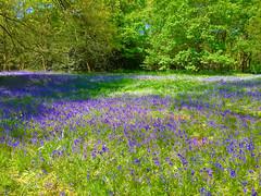 Bluebells at Royal Botanic Gardens, Kew (tame_alien) Tags: uk england flower kew bluebells landscape unitedkingdom royalbotanicgardens