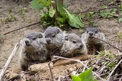 Groundhog family (Marmota monax) (Zachary Cava) Tags: mammal rodent squirrel woodchuck groundhog marmot marmota whistlepig marmotamonax