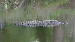 Gator (bamboosage) Tags: ngc npc 300 smc f4 pentaxda