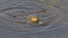2016-05-06 - 15.27.25 - _L5B2045 - 1 (Rossell' Art) Tags: pad frog toad sapo rana frosch grenouille kikker rano bufo r krte crapaud  rospo doodebemde batracien