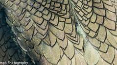Feather detail: Shag; (Phalacrocorax aristotelis)_Farne Islands May 2016 (Mick PK) Tags: uk england bird feather northumberland nationaltrust shag northeast farneislands seabird nationalnaturereserve innerfarne phalacrooraxaristotelis