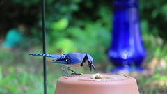 Snatch and Grab in Action (Gabriel FW Koch) Tags: wild sun sunlight motion bird nature animal canon eos flying video wings jay dof natural feeding action bokeh wildlife shell bluejay telephoto peanut lseries