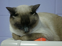 Blu (AbbyB.) Tags: rescue pet cat newjersey feline shelter adopt adoptable shelterpet petphotography easthanovernj mtpleasantanimalshelter