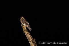 SK3A0039 (sullivan) Tags: nature animal dof bokeh taiwan sullivan     brownhawkowl ninoxscutulata ef300mmf4lisusm         newtaipeicity canoneos7dmarkii      adobephotoshoplightroom5 suhaocheng