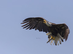 lord of the air ..... (Henry der Mops) Tags: mg5265 greifvogel weiskopfseeadler baldeagle mplez henrydermops canoneos6d canonlens100400mm vogel birds luft himmel sky