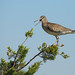 Willet on Lookout