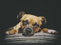 Sleeping beauty (Explore 11/06/16) (saraprxds) Tags: dog pet