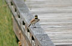 Horned Lark (1krispy1) Tags: larks hornedlark texasbirs