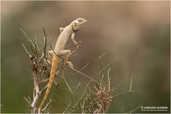 Yellow Spotted Agama (markjasminphotography) Tags: nature bokeh wildlife lizard agama