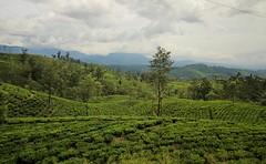Perdersi nel verde #insolitamente (#Insolitamente00) Tags: travel verde colors train hill srilanka colori viaggio collina emozioni insolitamente
