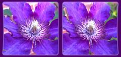 Clematis 1 - Crosseye 3D (DarkOnus) Tags: flower macro closeup stereogram 3d crosseye phone pennsylvania clematis cell stereo bloom stereography buckscounty huawei crossview mate8 darkonus