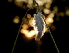(Oscar Millarengo) Tags: pluma suave