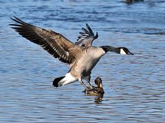 'Disinterest' (Vidterry) Tags: goose canadagoose gooselanding